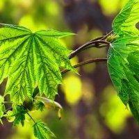 Kленовые листья :: Наталия Рискина