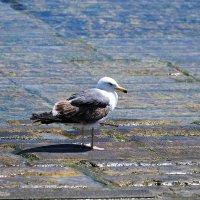 Чайка :: Ольга Васильева