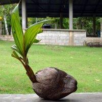 Рождение пальмы) :: Yuriy