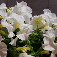 Белые цветы. :: Алексей Жуков