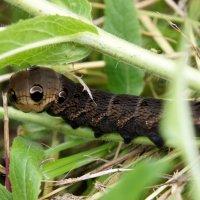 Гусеница бражника (ночная бабочка) :: Елена Смолова