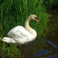 """А белый лебедь на пруду""... :: Nina Yudicheva"