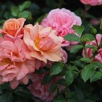 Павловские розы :: Светлана Дмитриева