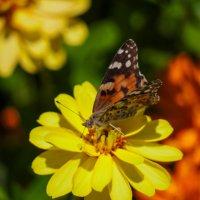 Утро бабочки :: Alla
