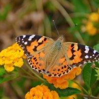 Яркая оранжевая бабочка. :: Оля Богданович