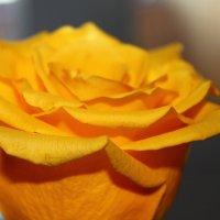 Rose :: Кира К