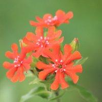 Цветок Нечерноземья :: Виталий  Селиванов