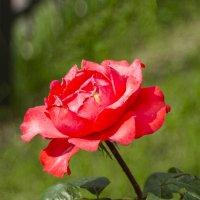 Алая роза :: Дубовцев Евгений