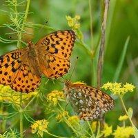 бабочки :: Сергей Сол