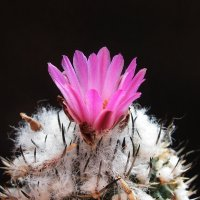 Цветок кактуса :: MPS