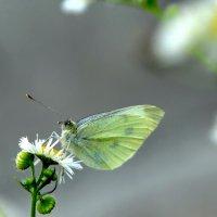 Бабочка с зелеными глазками :: Ольга Голубева