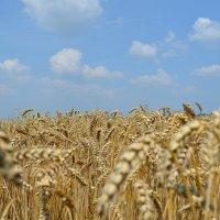 пшеничное поле :: ruslan romaniuk