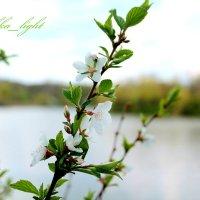 Цвет дикой вишни :: Инна Дегтяренко