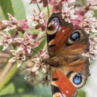 бабочка на цветке :: Лариса Батурова