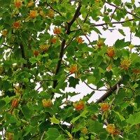 Тюльпанное дерево цветет :: Светлана