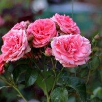 Розы :: VADIM *****