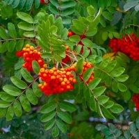 Как янтарь молодой  наливаются  грозди рябины (Тонкая Рябина). :: Elena Izotova