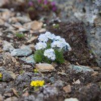 Цветы в горах.. :: Alex AST
