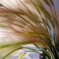 Ковыль, трава степная :: Елена Смолова