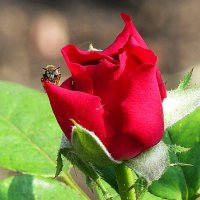 роза и пчела :: Марина Ринкашикитока