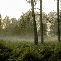 туман в лесу :: Олег