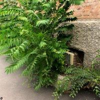 Озеленяемся, освежаемся - и продолжаем жить... :: Нина Бутко