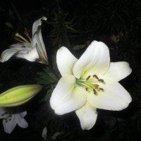 Белая лилия... :: Valentina
