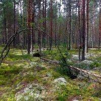 в лесу... :: Ольга Cоломатина