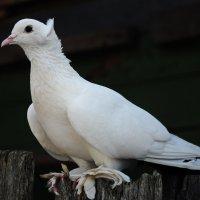Белая ворона :: Анна Смирнова