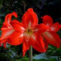 Гиппеаструм цветет... :: *MIRA* **