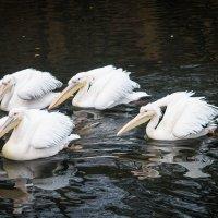 Розовые пеликаны :: Сергей Стреляный