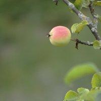 яблоки набирают силу :: Михаил Жуковский