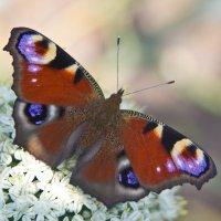 Uncatchable butterfly :: Julia Emelianova