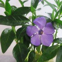 Весенний цветок.Барвинок :: татьяна