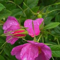 Цветет шиповник по садам. :: Helen Helen