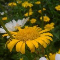 солнечные цветы :: Даша Гринёва