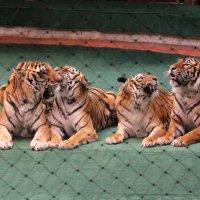 Тигры братьев Запашных :: Екатерина Краева
