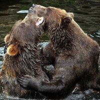 Медвежьи страсти :: Alexander Andronik