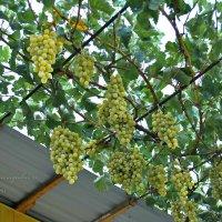 виноград :: Юрий Владимирович