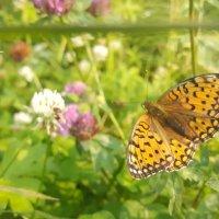 Рыжая бабочка :: Ася Довгополая