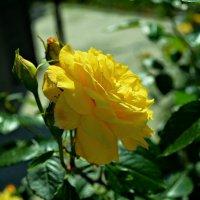 Дарите желтые цветы. :: *MIRA* **