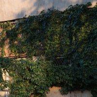 Виноградные листья обвивающие здание. :: Дарья Симонова