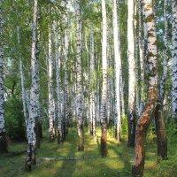 Берёы, освещённые солнцем. :: Борис Митрохин