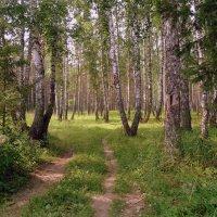 В берёзовом лесу. :: Мила Бовкун