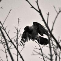 Ворона :: Pavel Dubakin