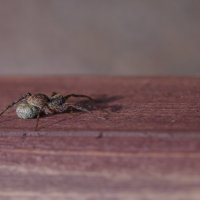 паук :: Puma V.