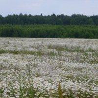 Ромашковое поле...  Красота  !!! :: Galina Leskova