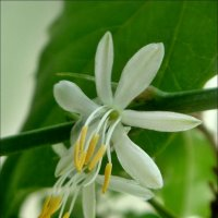 Миниатюрные цветочки хлорофитума тоже в радость :: Нина Корешкова