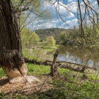 Бобровое счастье на реке Лопасня :: Владимир Безбородов