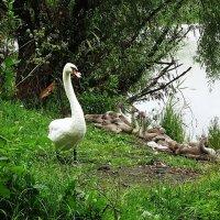 Лебединая семья спустя почти месяц с последней встречи :: Маргарита Батырева